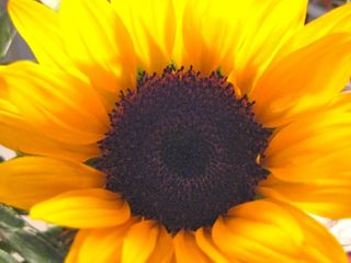 Graduation sunflower